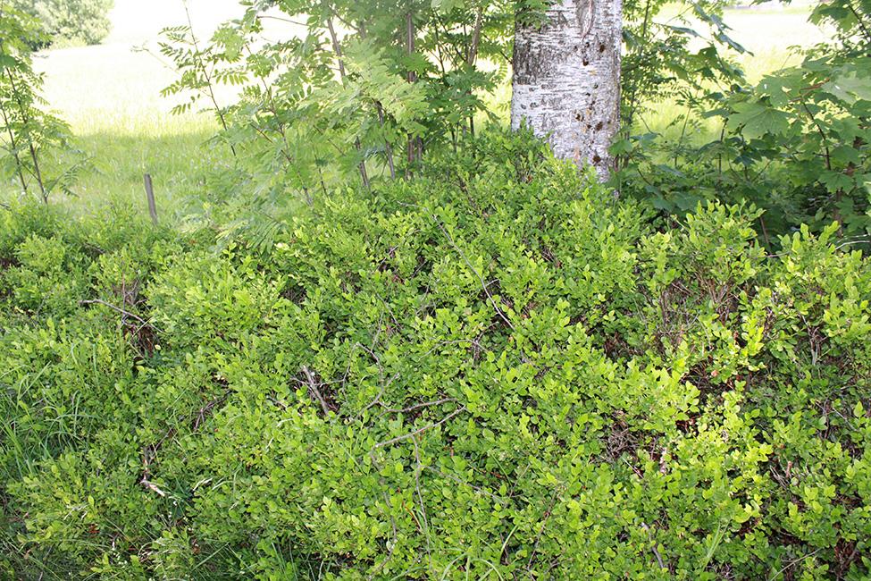 Heidelbeere/Blaubeere